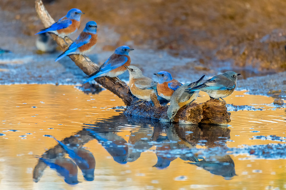 Western Bluebird Convention - Feb 4