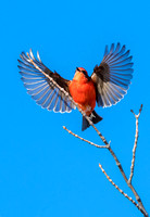 Vermilion Flycatcher - Feb 2